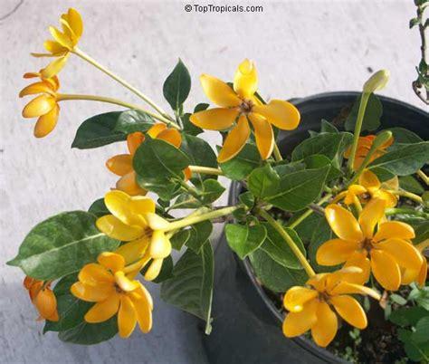 Gardenia Kula Gardenia Tubifera Kula Gardenia Pfordii Golden Gardenia