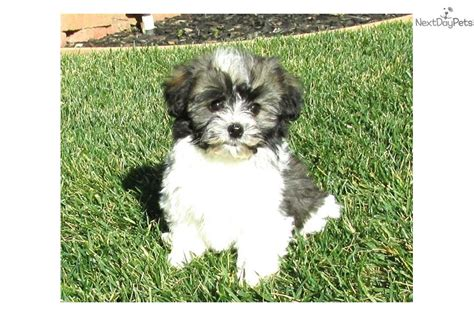 havanese puppies for sale in ms havanese puppy for sale near san diego california 16170c09 a721