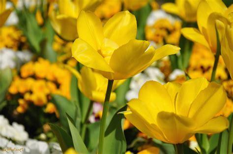 sfondi desktop fiori di primavera pin fiori di primavera fiore giallo sfondi desktop gratis