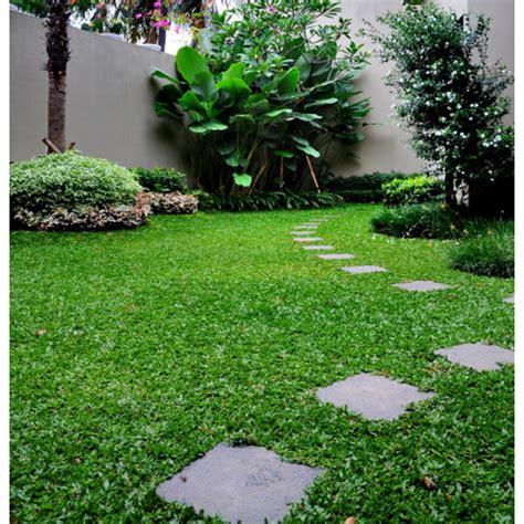 Bibit Rumput Gajah Mini jual bibit rumput gajah mini