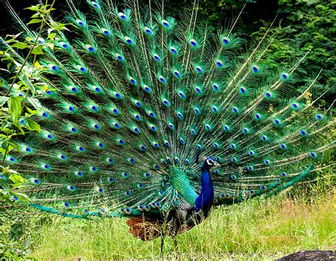 peacock blue india blue peacock image from wikimedia commons