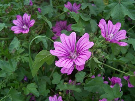 fiore di malva risotto allo zafferano salsiccia e fiori di malva