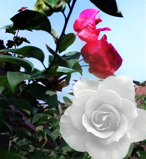 info lengkap mengenai bunga mawar selingkaran com gambar wallpaper bunga ros a1 wallpaperz for you