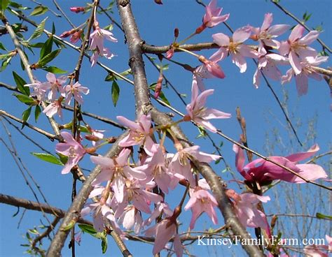 cherry tree family flowering cherry trees for sale kinsey family farm kinsey family farm