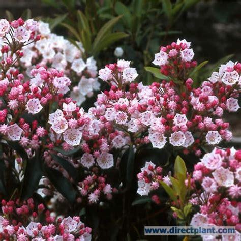 kalmia latifolia tuingerei kalmia latifolia lepelboom 25 30 cm