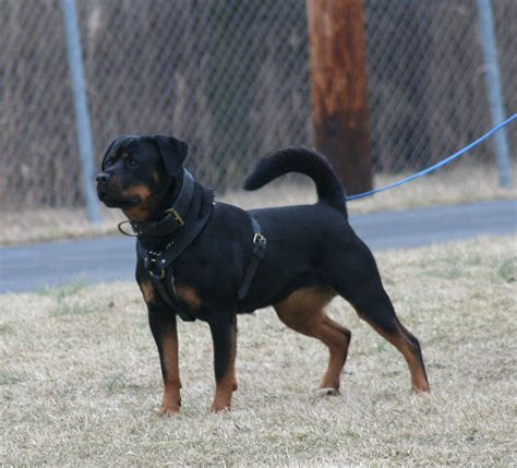 gamegards rottweilers past litters