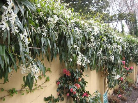 evergreen climbing plants evergreen clematis flowering vines for yearlong color hgtv