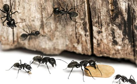large ants in bathroom big black ants in my bathroom 28 images home remedies
