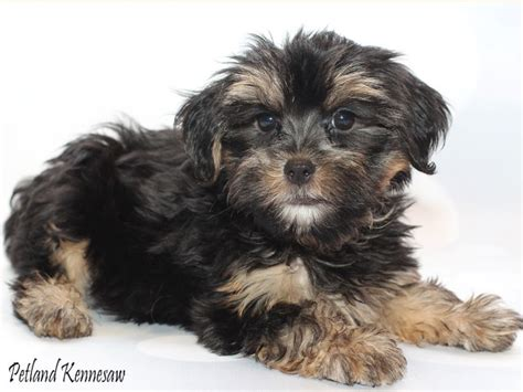 yorkie faq yorkie poo puppies is the yorkie poo the right breed for you