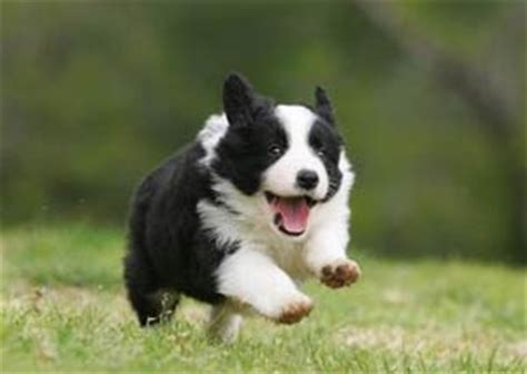 best food for border collie puppy top food for border collies