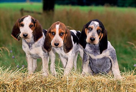 american foxhound puppies for sale near me foxhound mix breeds picture