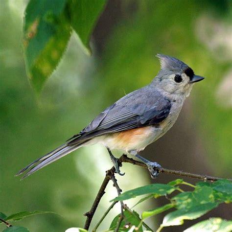 common birds   backyard ufifas extension pinellas