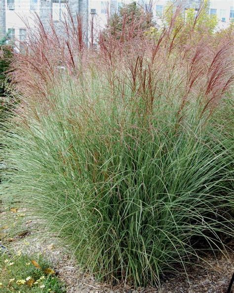 ornamental grasses update your curb appeal with just one plant the garden glove