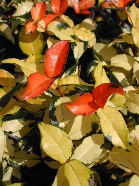 summer sunset asiatic jasmine buy asiatic minima jasmine varieties here hydropro sales inc