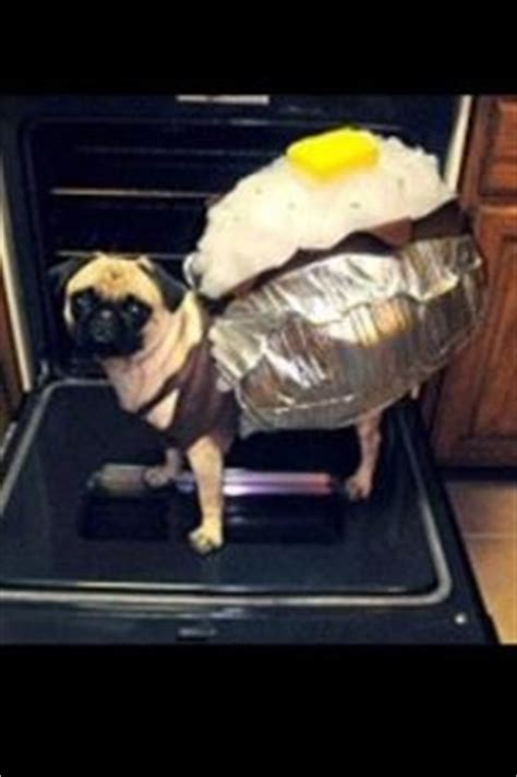 potato pug 1000 images about pugs on