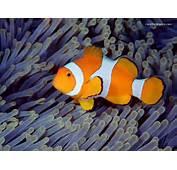 Ikan Nemo Think Smart ヘ^ ^ヘノ^ ^ノ Clownfish / Badut