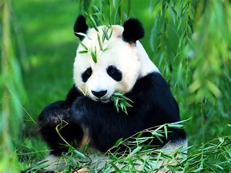 gambar gambar panda lucu lengkap
