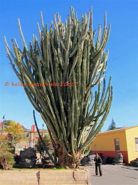 gallery queen   night cactus