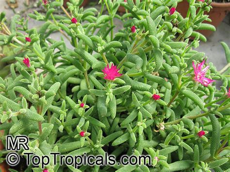 Planting A Garden In The Fall - mesembryanthemum sp ice plant livingstone daisy toptropicals com
