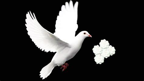 doves hd wallpaper 557370 jpg hd wallpaper of birds impremedia net