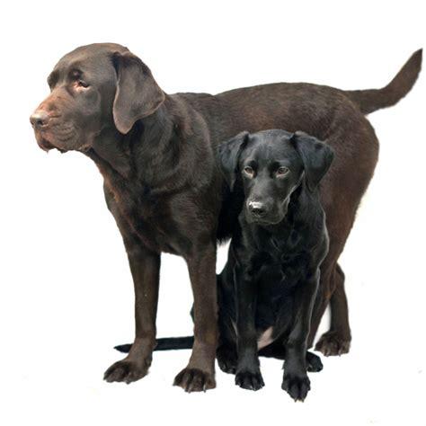 golden retriever grown age labrador retriever age of maturity dogs our friends photo