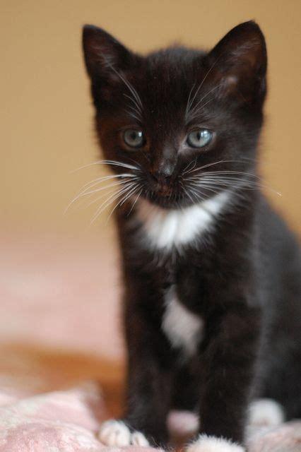 black and white kitten little black and white kitten pets pinterest white