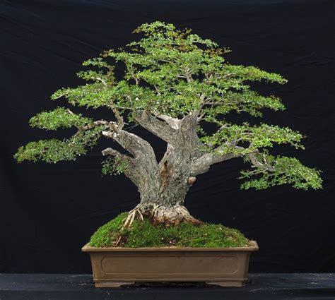 trees  bonsai    care