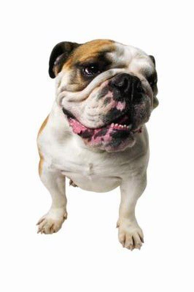 care   heat rash   bulldog pets