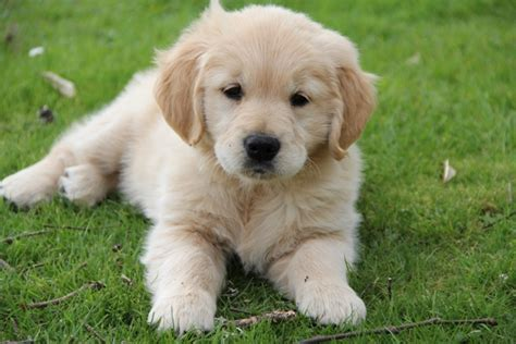 golden retriever breeders nz the golden retriever club inc new zealand