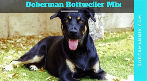 mix doberman rottweiler doberman mix list of cross breeds