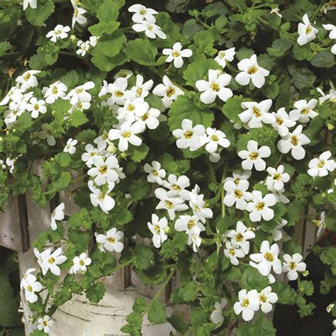 bacopa snowtopia flower plants from dt brown seeds