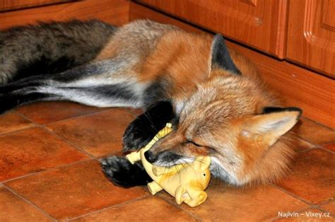 are foxes cats or dogs rescued fox is the mix of cat and