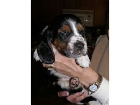 basset hound puppies for sale in ky basset hound puppies for sale in ky