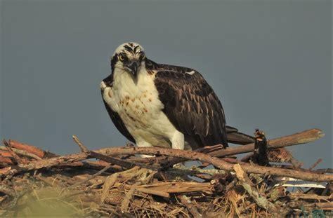 detailed information  western osprey pandion haliaetus