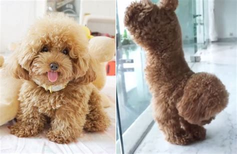 ginger doodle puppy meet ginger doodle the toy poodle who is cuter than you