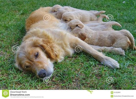 green puppy golden retriever golden retriever with puppies stock image image 61252891