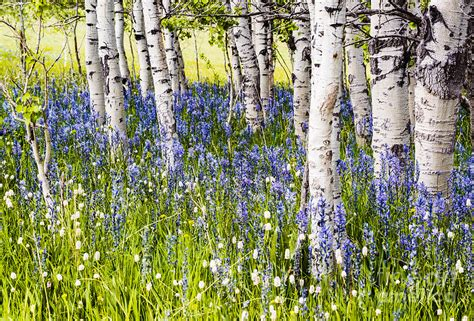 Horse Duvet Cover Aspen Trees And Camas Lilies In Idaho Photograph By
