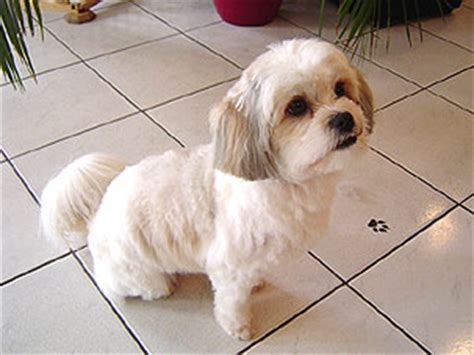 shih tzu and chow mix shih tzu chow mix breeds picture