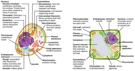 up letter between plant and animal cell eukaryotic cells biology i