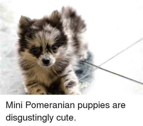 how much are mini pomeranian puppies 25 best memes about mini pomeranian mini pomeranian memes