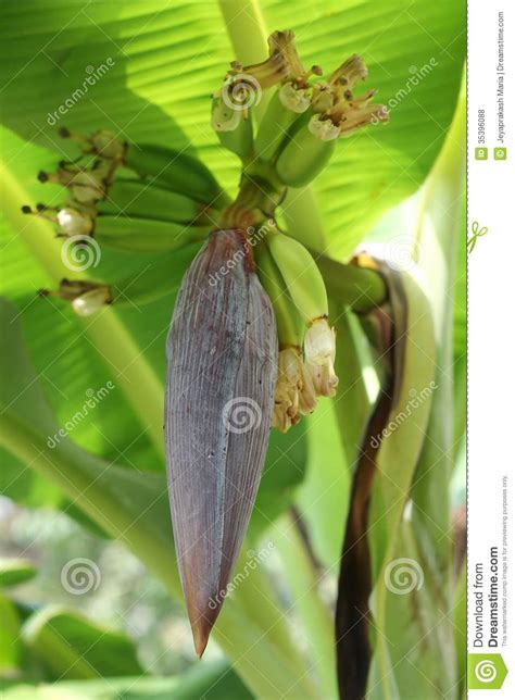 tiny musa banana tree flower of musa paradisiaca banana tree with small unripe