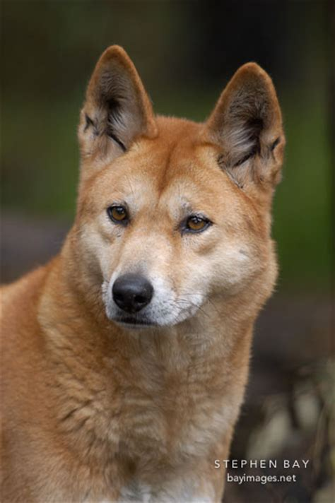 dingo puppy photo dingo portrait canis familiaris dingo australian