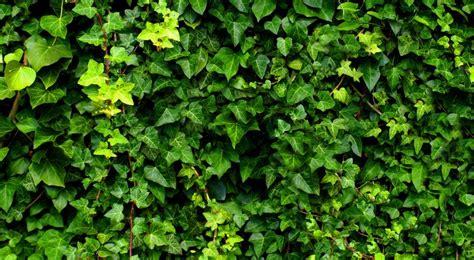 Bien Plante De Salle De Bain #6: 029E017005098859-c1-photo-oYToxOntzOjE6InciO2k6NjcwO30%3D-lierre-grimpant.jpg
