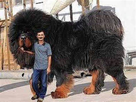 largest rottweiler breed found on earth caucasian shepherd kangal pitbull rottweiler
