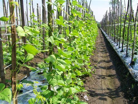 Tali Gawar cara menanam dan budidaya buncis pertanian