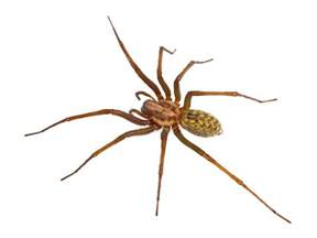 are barn spiders venomous 13 most common and deadly spiders in the us