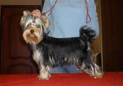 different cuts for yorkies yorkie haircuts 100 terrier hairstyles pictures yorkiemag