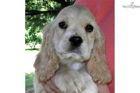 cocker spaniel puppies for sale ohio cocker spaniel puppy for sale near tuscarawas co ohio 72e0b9cb 0101