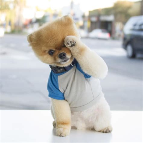 jiff pomeranian who is the cuter pom boo or jiff pet radio magazine