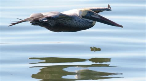 pelican flying boat wings fly efficiently over water brown pelican asknature